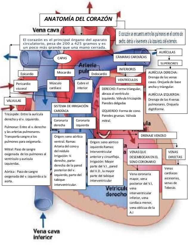 Mapa anatomia-del-corazón