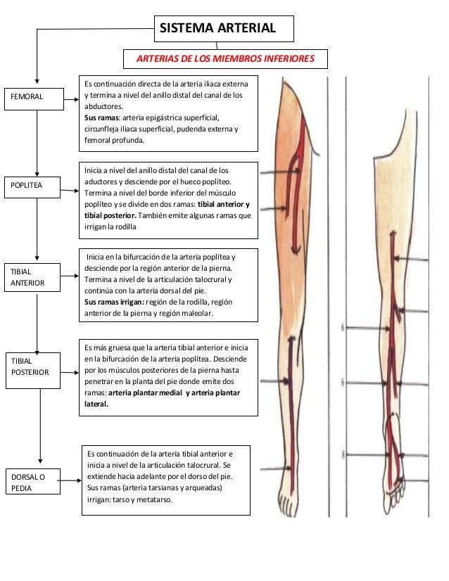 Fantástico Inferior Anatomía De Las Arterias De Las Extremidades ...