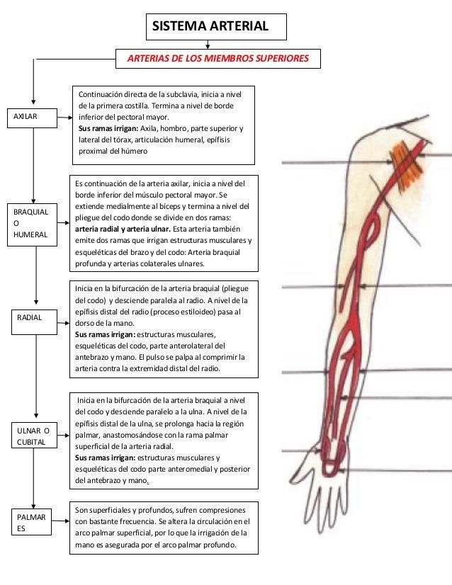 Encantador Anatomía Vascular De La Extremidad Superior Imágenes ...