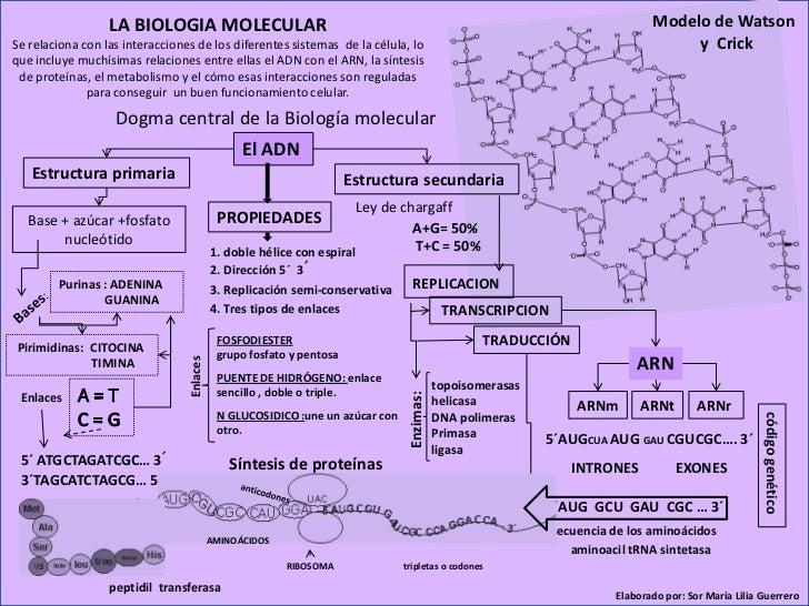 LA BIOLOGIA MOLECULAR                                                                                      Modelo de Watso...