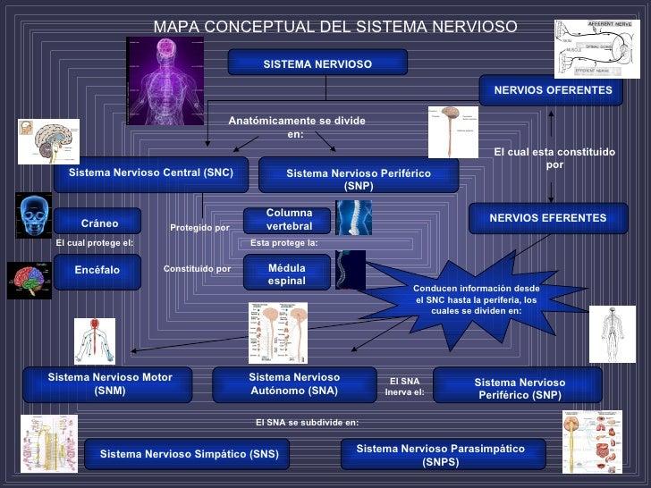 MAPA CONCEPTUAL DEL SISTEMA NERVIOSO SISTEMA NERVIOSO NERVIOS OFERENTES Anatómicamente se divide en:  Sistema Nervioso Cen...
