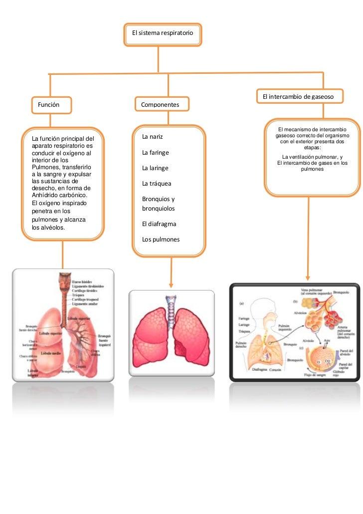 Mapa conceptual (sistema respiratorio)...