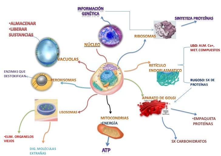 Mapa Mental de una Celula