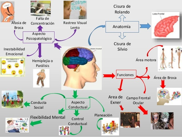Mapa mental lobulos