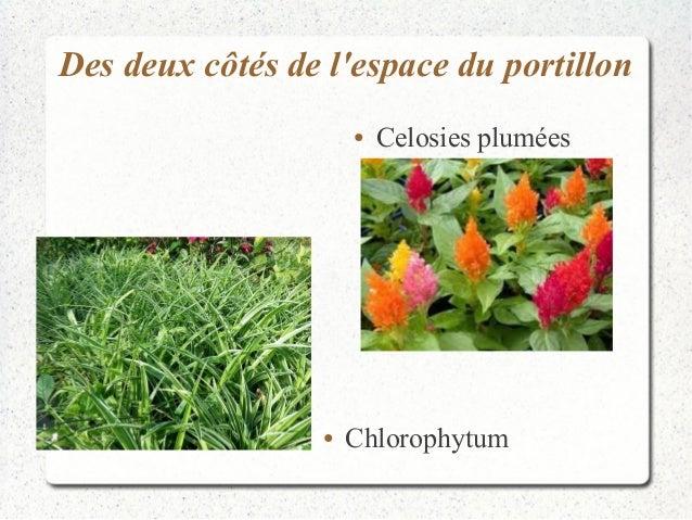 Des deux côtés de l'espace du portillon  ● Celosies plumées  ● Chlorophytum