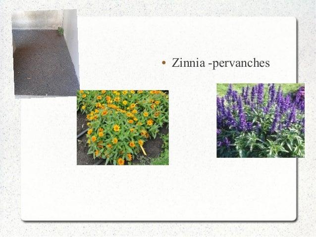 ● Zinnia -pervanches