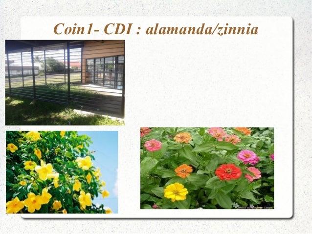 Coin1- CDI : alamanda/zinnia