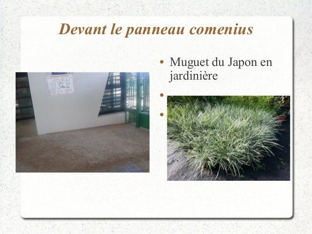 Devant le panneau comenius  ● Muguet du Japon en  jardinière  ●  ●