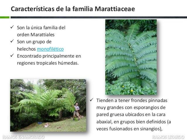 Marattiaceae botanica sistematica expo 1 2013 - Cuidados de los helechos ...