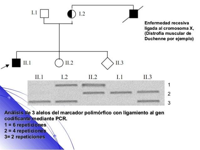 Enfermedad recesiva                                                          ligada al cromosoma X,                       ...