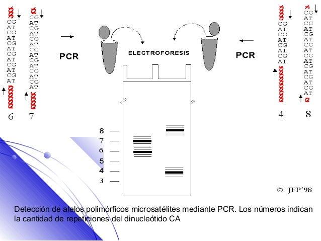 Detección de alelos polimórficos microsatélites mediante PCR. Los números indicanla cantidad de repeticiones del dinucleót...