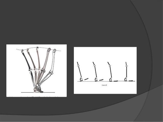 5.- COORDINACION DE LOS MOV. DE LA RODILLA Y DEL TOBILLO  Patrón cinético:  Inmediatamente despues del contacto del talo...