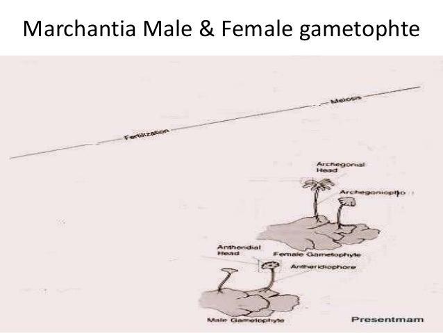 Marchantia Male & Female gametophte