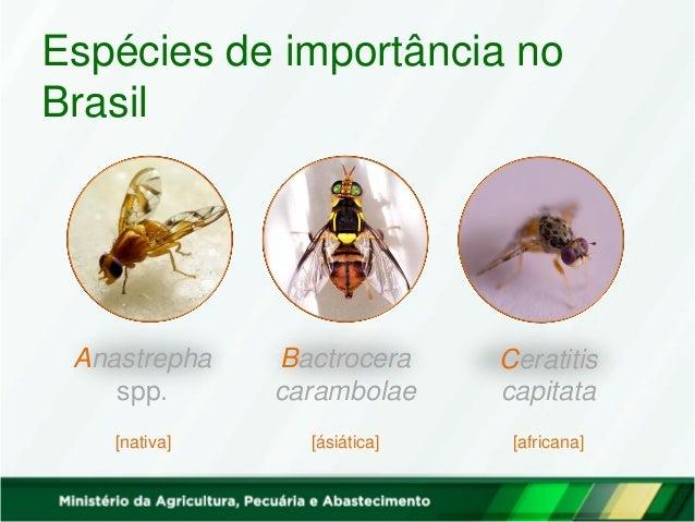 Anastrepha spp. Bactrocera carambolae Ceratitis capitata [nativa] [ásiática] [africana] Espécies de importância no Brasil