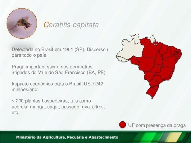 UF com presença da praga Ceratitis capitata Detectada no Brasil em 1901 (SP). Dispersou para todo o país Praga importantís...