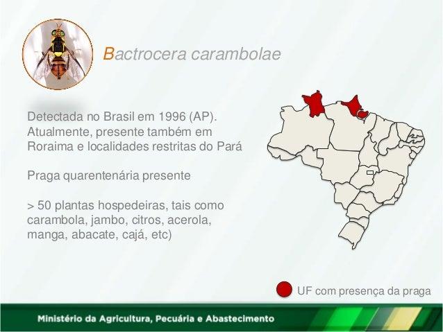 Bactrocera carambolae Detectada no Brasil em 1996 (AP). Atualmente, presente também em Roraima e localidades restritas do ...
