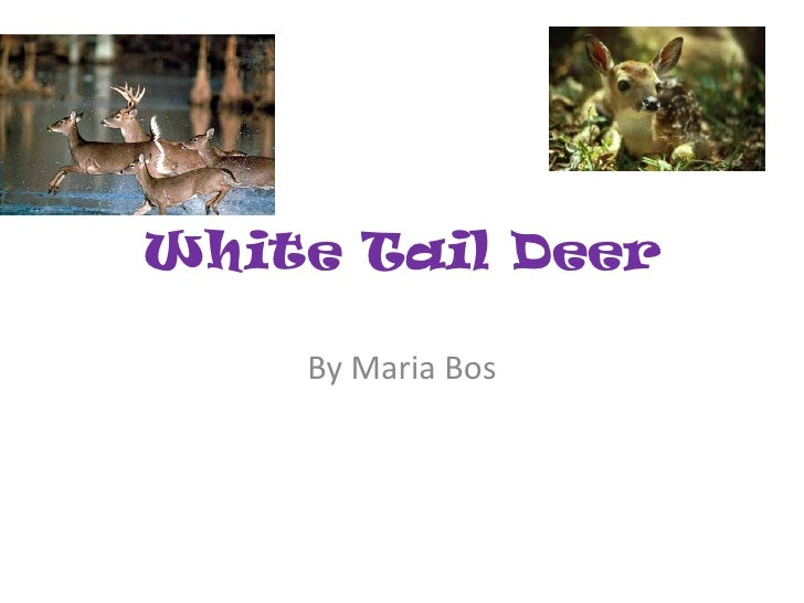 White Tail Deer<br />By Maria Bos<br />