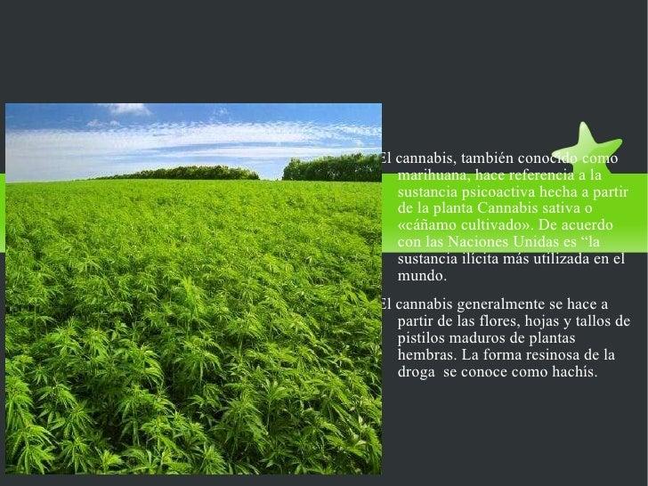 EL CANNABIS (MARIHUANA) <ul><li>El cannabis, también conocido como marihuana, hace referencia a la sustancia psicoactiva h...