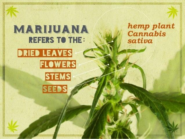 dried leaves flowers stems seeds hemp plant marijuana refers to the : Cannabis sativa