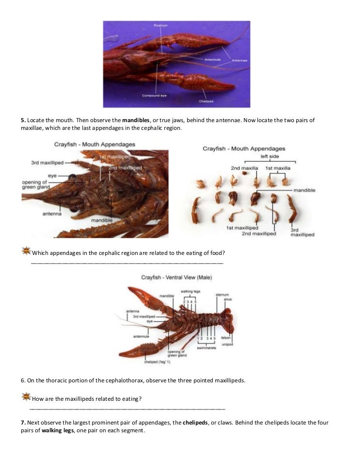 Marine science crayfish dissection
