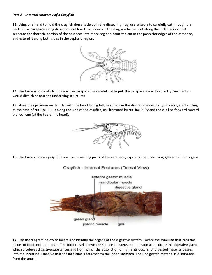 marine science crayfish dissection. Black Bedroom Furniture Sets. Home Design Ideas