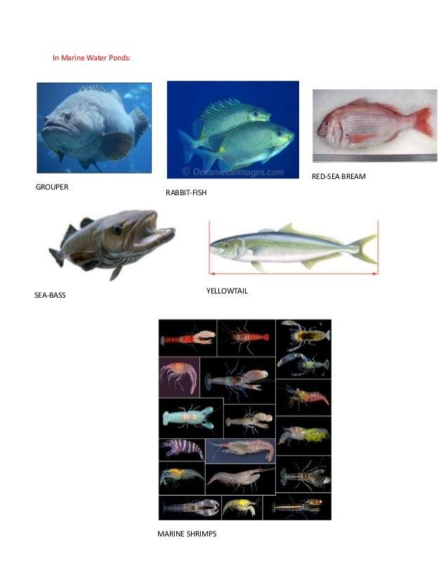 In Marine Water Ponds:GROUPERRABBIT-FISHSEA-BASSRED-SEA BREAMYELLOWTAILMARINE SHRIMPS