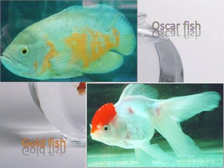 Market potential of ornamental fishes in gujarat problems for Ornamental fish