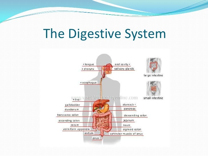 The Digestive System<br />