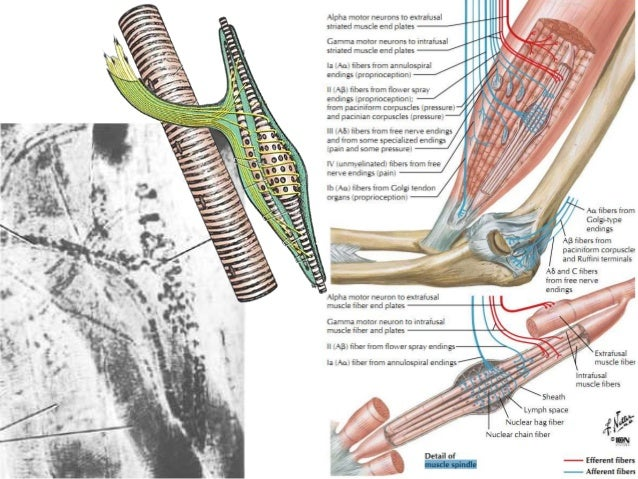 Mascle spindle دوک عضلانی عصبی Slide 2