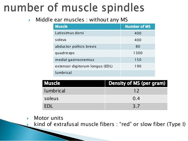 Mascle spindle دوک عضلانی عصبی Slide 3