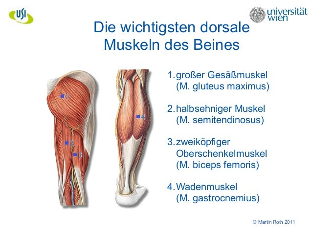 Großzügig Wadenmuskulatur Anatomie Bilder - Anatomie Von ...
