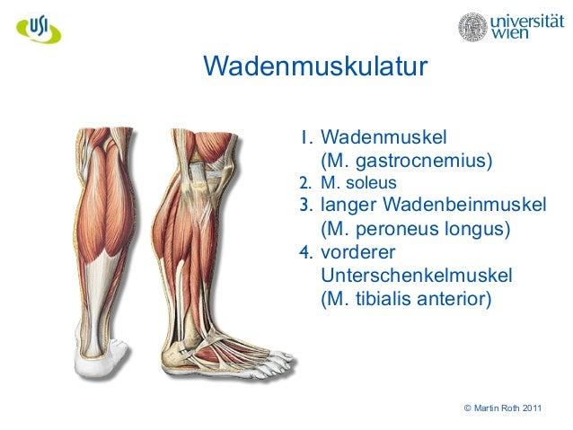 Charmant Anatomie Des Wadenmuskels Zeitgenössisch - Anatomie Von ...