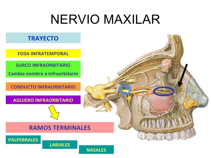 N.Maxilar