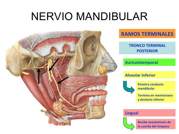 Increíble Anatomía Del Nervio Auriculotemporal Ilustración ...