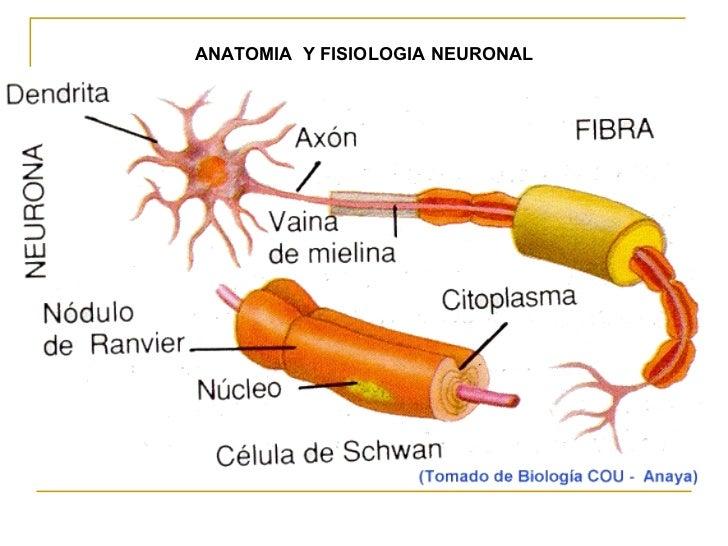 ANATOMIA  Y FISIOLOGIA NEURONAL