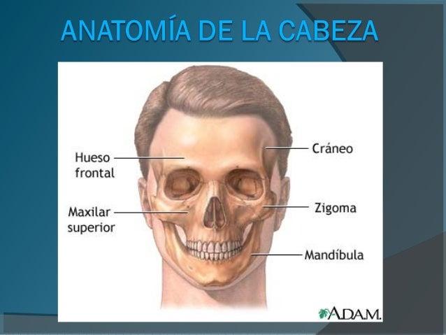 Material didactico utilizado anatomía de la cabeza