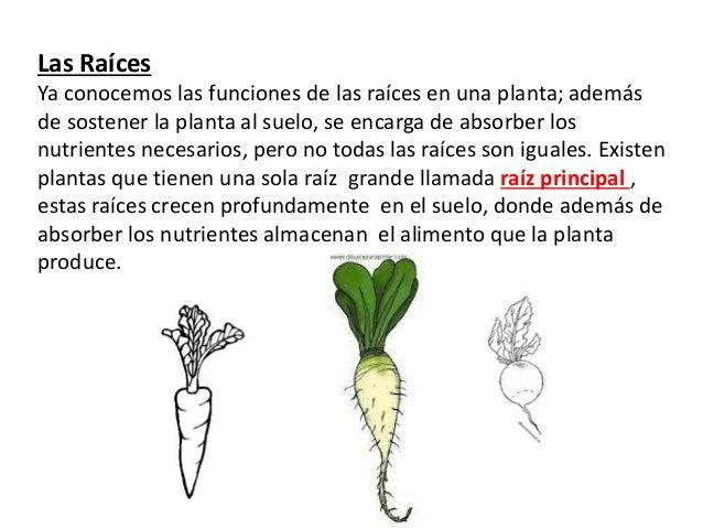 Las Raíces Ya conocemos las funciones de las raíces en una planta; además de sostener la planta al suelo, se encarga de ab...