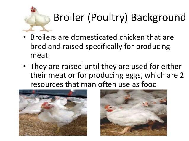 Math Performance Task Broiler Chicken