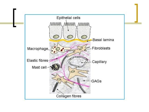 Matrix Extracelular Amp Membrana Basal