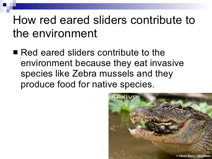 What Food Do Zebra Mussels Eat