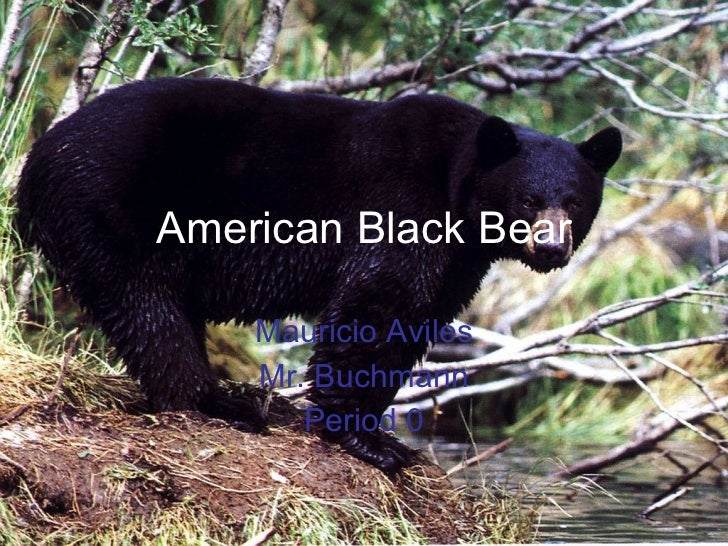 American Black Bear Mauricio Aviles Mr. Buchmann Period 0