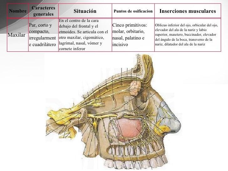 Asombroso Maxilar Y La Mandíbula Anatomía Imagen - Anatomía de Las ...