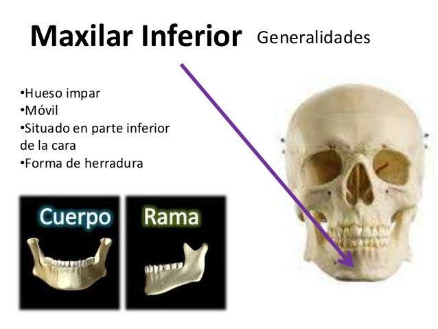 Maxilar Inferior            Generalidades•Hueso impar•Móvil•Situado en parte inferiorde la cara•Forma de herradura