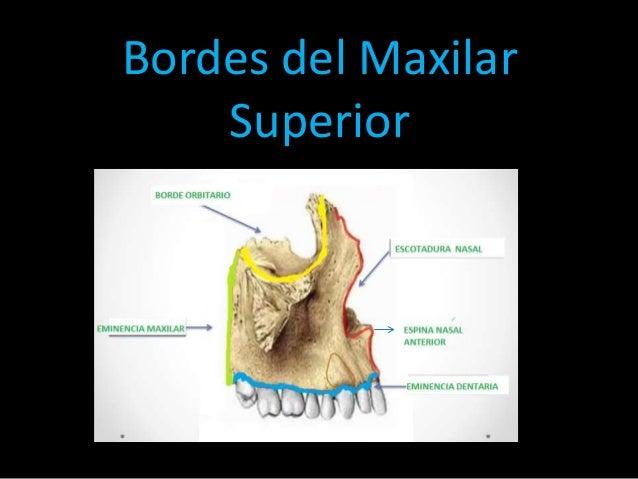 Maxilar superior ( anatomía dental y oclusión)