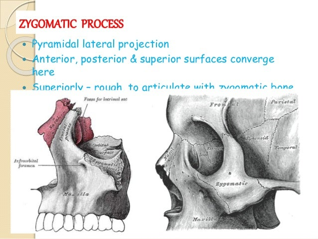 Zygomatic Process Of Maxilla 36411 | MOVIEWEB