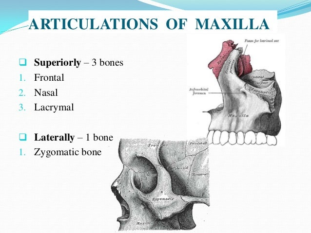 maxilla anatomy, development & surgical anatomy, Human Body
