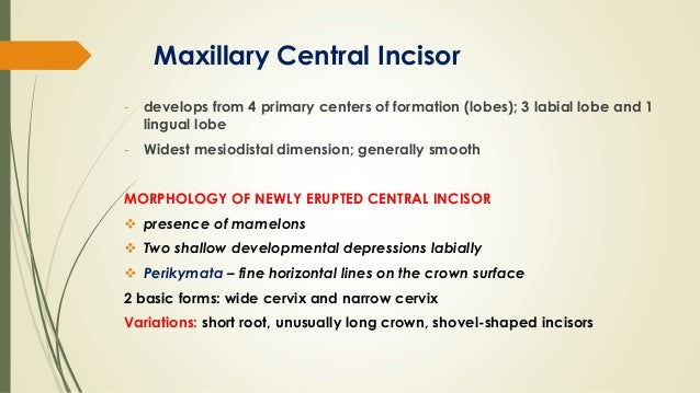 Maxillary central incisor (ORAL ANATOMY)