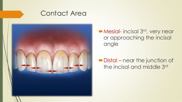 Maxillary Central Incisor Oral Anatomy