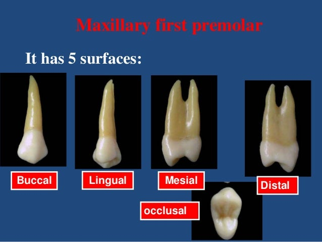 maxillary first premolar it has 5 surfaces buccal lingual mesial occlusal distal 10