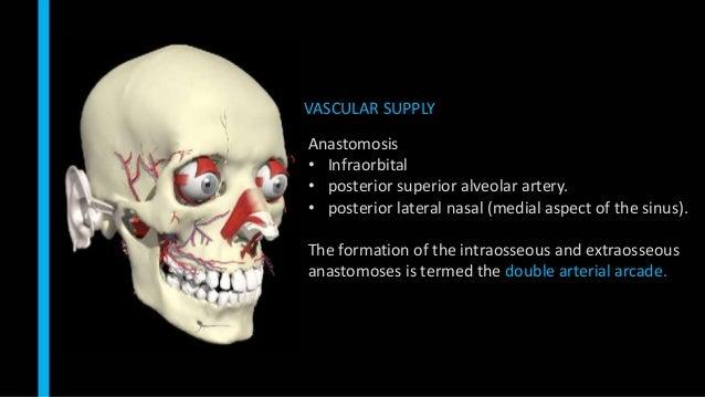 VASCULAR SUPPLY Anastomosis • Infraorbital • posterior superior alveolar artery. • posterior lateral nasal (medial aspect ...